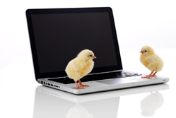 Two chicks on a laptop