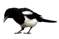 How to focus in a world of marketing magpies/magpie{{}}
