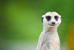 What's native video and what has a meerkat got to do with it?{{}}