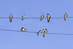 Birds on a wire{{}}