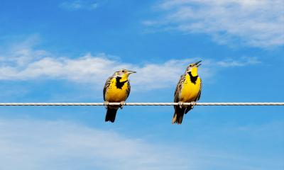 Two yellow birds on a telephone wire