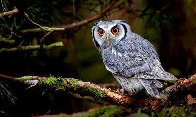 A grey Owl sat on a branch looking at the camera