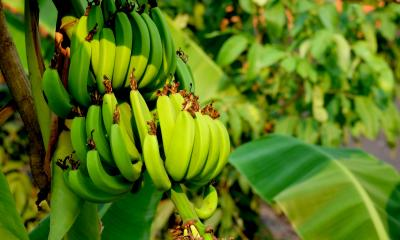 Lots of green bananas handing off a tree that are unripe