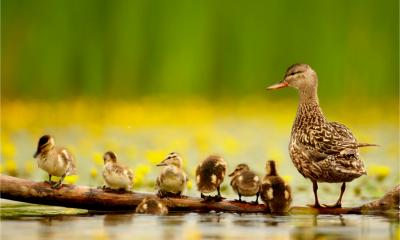 A mother duck oversees her six ducklings
