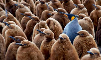 An adult king penguin stands out among a flock of baby penguins